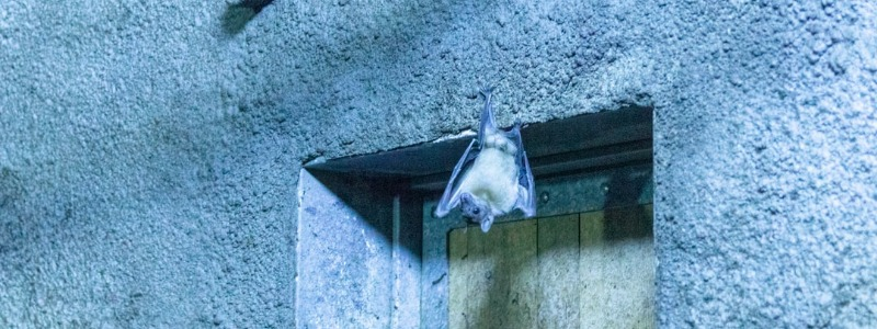 dripping springs bat removal