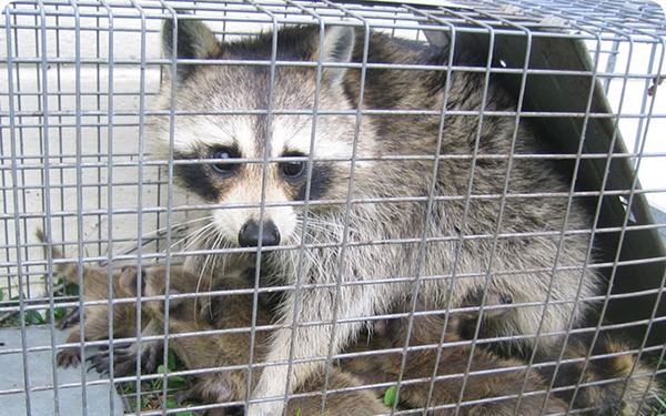 https://www.drippingsprings.co/wp-content/uploads/2020/09/dripping-springs-raccoon-removal.jpg