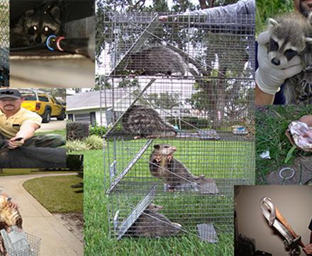 Orlando Raccoon Removal Services