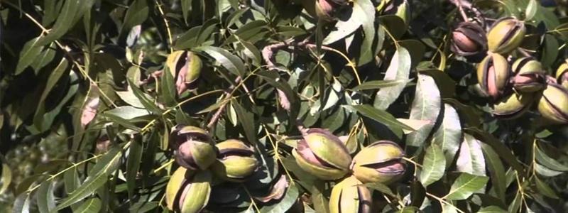basics pecan tree planting