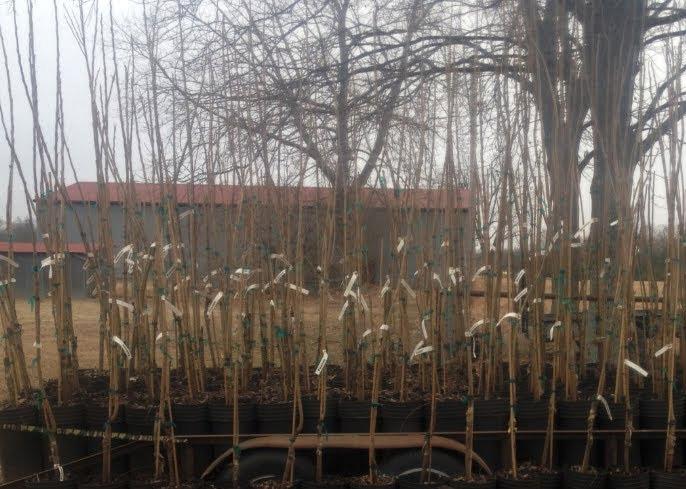 buy pecan tree nursery