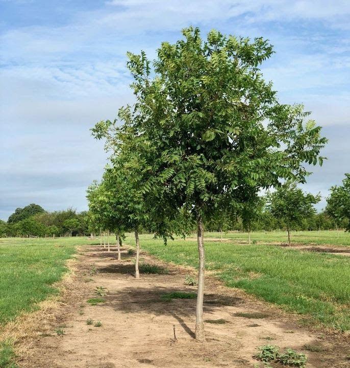 new pecan trees