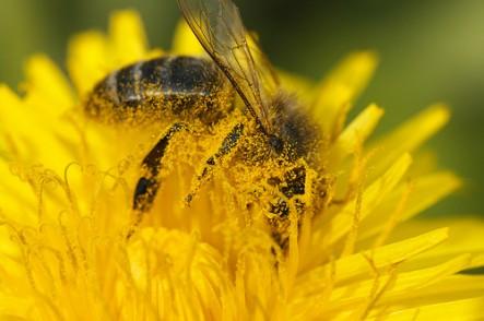 Honey bee covered in pollen in a dandelion flower